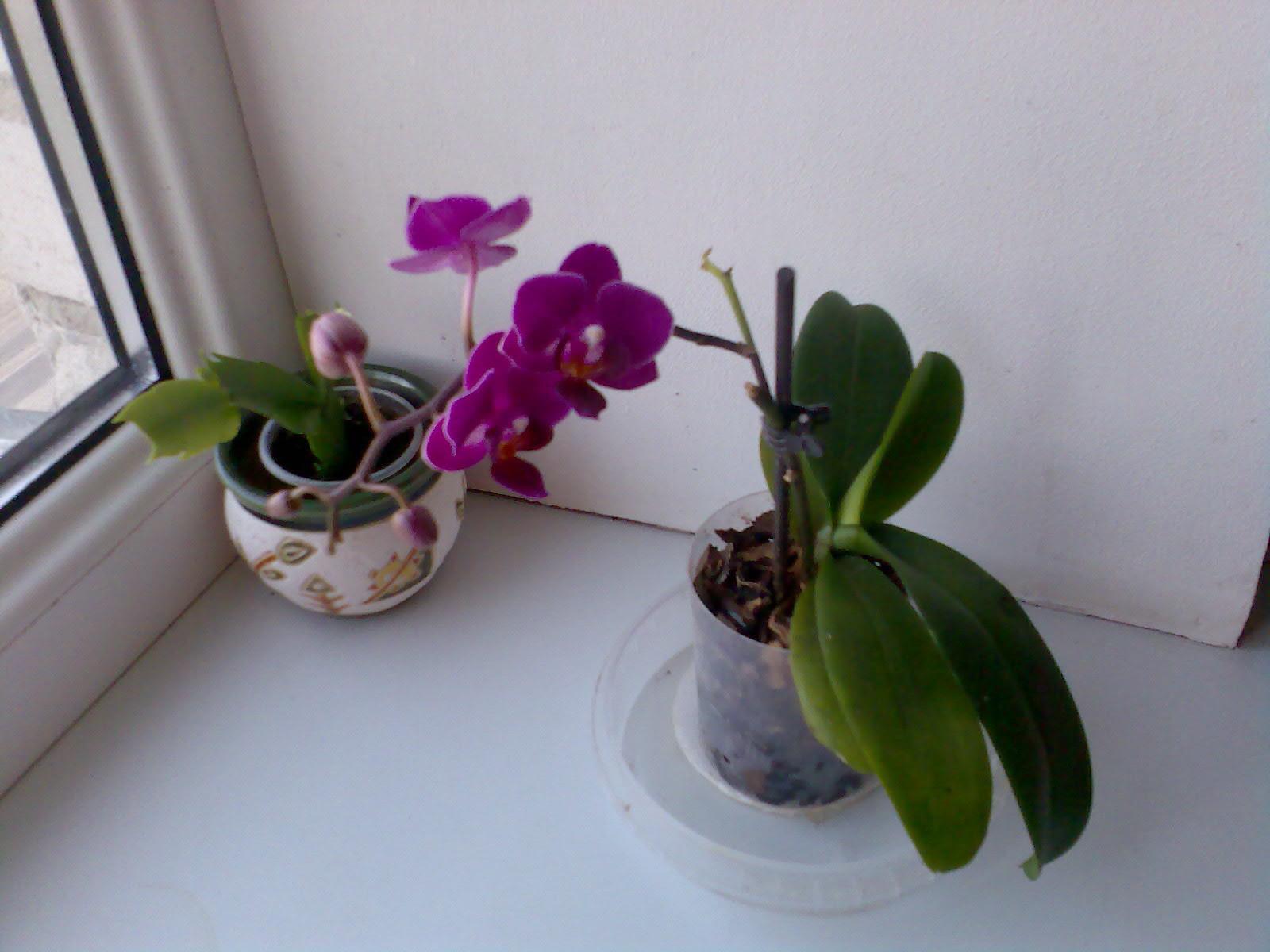 Как сделать в домашних условиях витаминный коктейль для орхидей 88