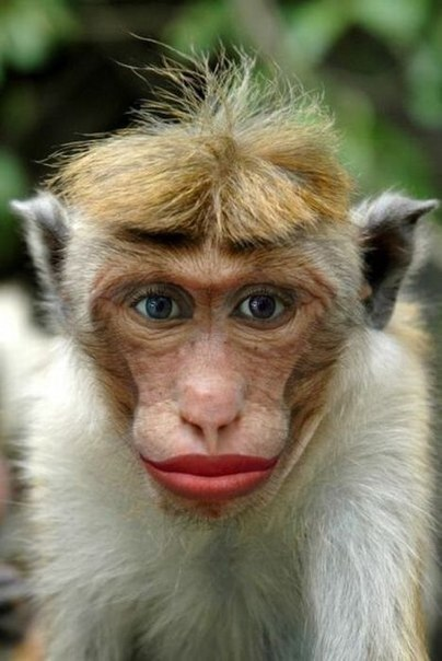Funny monkey lips