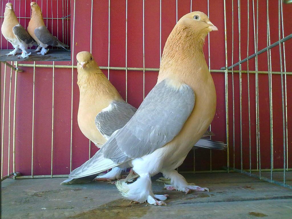 Как сделать желтых голубей 181