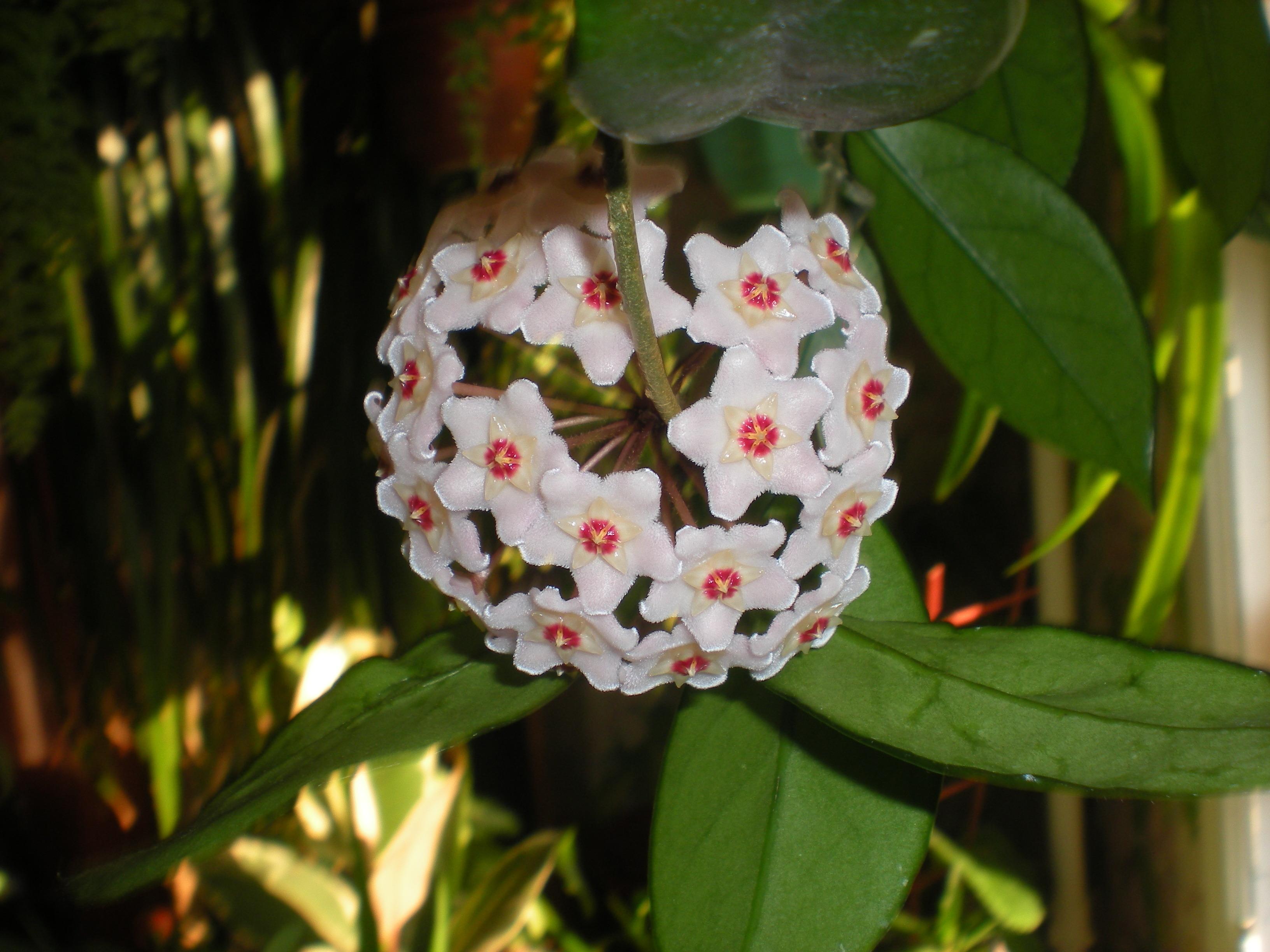 могут люди цветок хойя фото приметы указывает, что