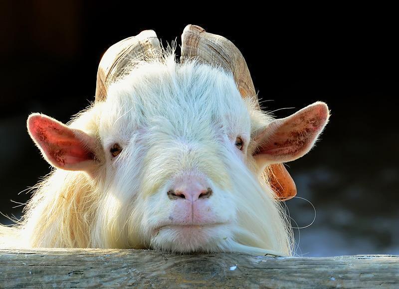 Смешные картинки коза